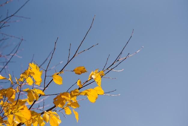 Foglie di autunno con il cielo blu, foglie e rami colorati luminosi gialli, temi di caduta