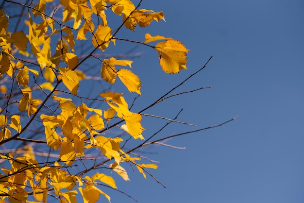 Foglie di autunno con l'azzurro del cielo, foglie e rami colorati luminosi gialli