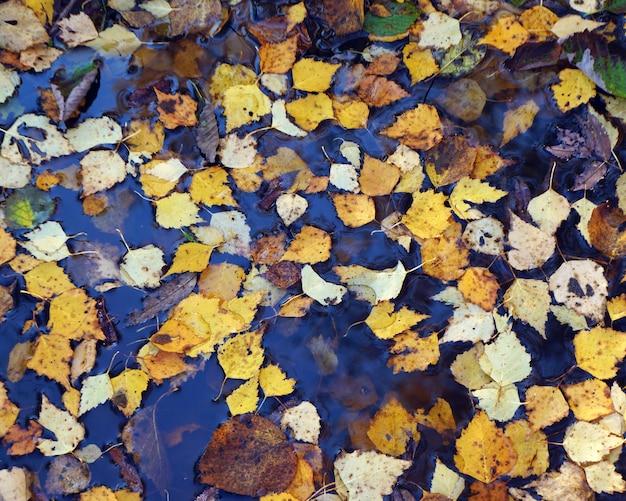 Foglie di autunno giallo in acqua, vista dall'alto.