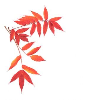 Foglie di autunno rosse isolate su fondo bianco