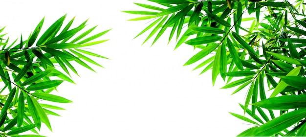 Foglie di bambù verde isolato su sfondo bianco