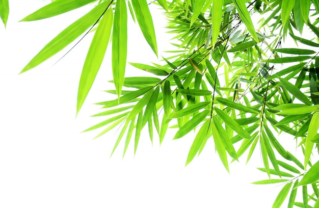 Foglie di bambù verde su sfondo bianco