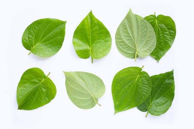 Foglie di betel verdi, piper fresco betle su bianco.