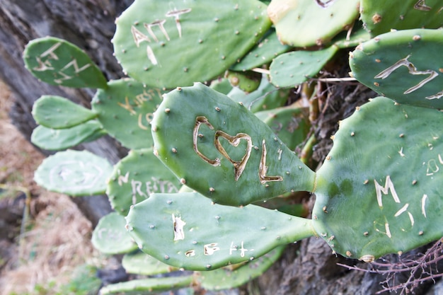 Foglie di cactus con scritte incise