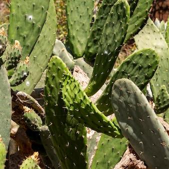 Foglie di cactus in un giorno d'estate