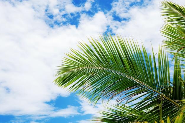 Foglie di cocco sul cielo blu.
