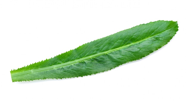 Foglie di coriandolo o foetidum di eryngium isolati su bianco.