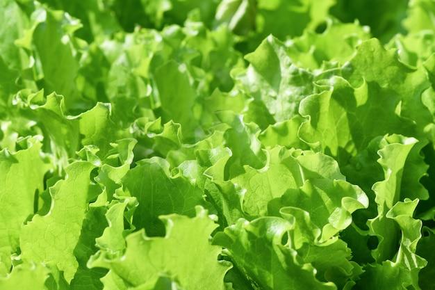 Foglie di insalata verde insalata verde fresca in giardino