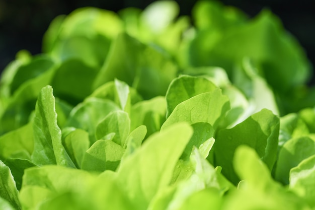 Foglie di insalata verde macrofotografia