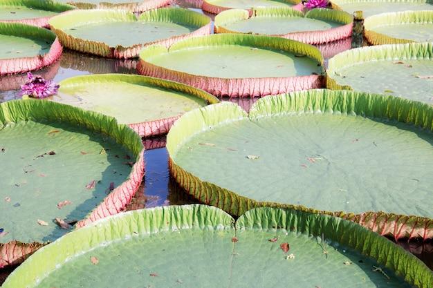 Foglie di loto con texture di sfondo.