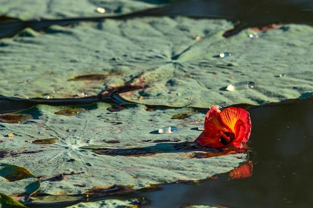 Foglie di loto nello stagno con fiore rosso