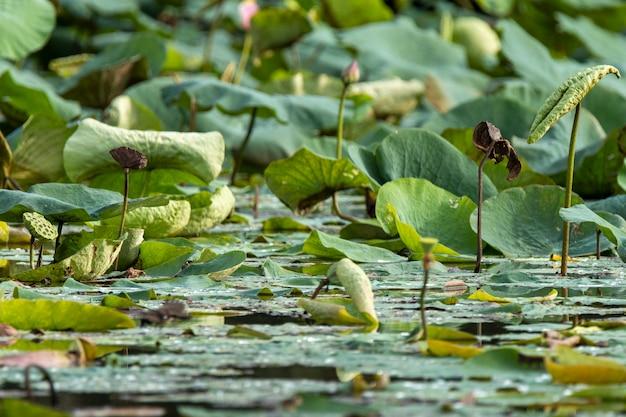 Foglie di loto nello stagno