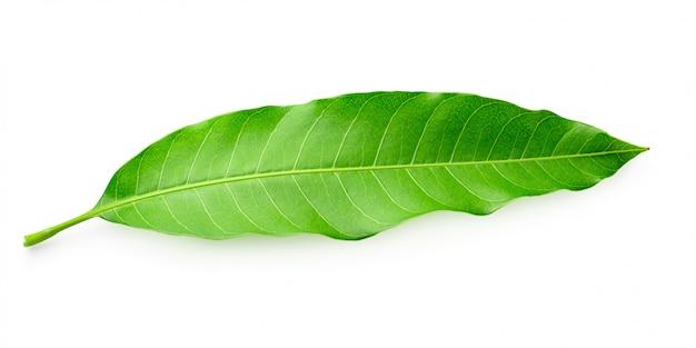 Foglie di mango verde isolate