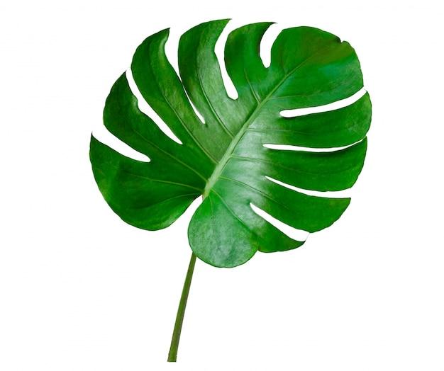 Foglie di monstera foglie con isolare su sfondo bianco foglie su bianco
