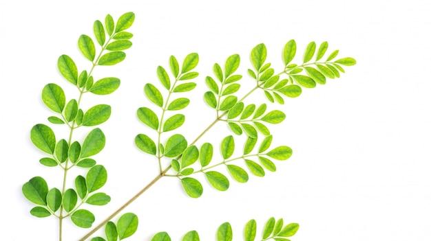 Foglie di moringa (erbe tailandesi) su uno sfondo bianco.