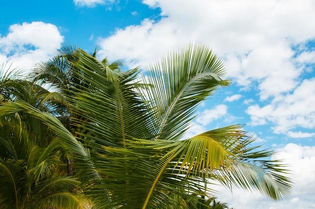 Foglie di palma sopra il fondo del cielo blu