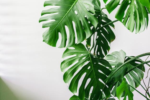 Foglie di palma tropicali esotiche di monstera a casa.