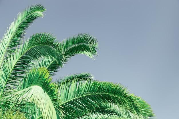 Foglie di palma verde. sfondo texture naturale con spazio di copia.