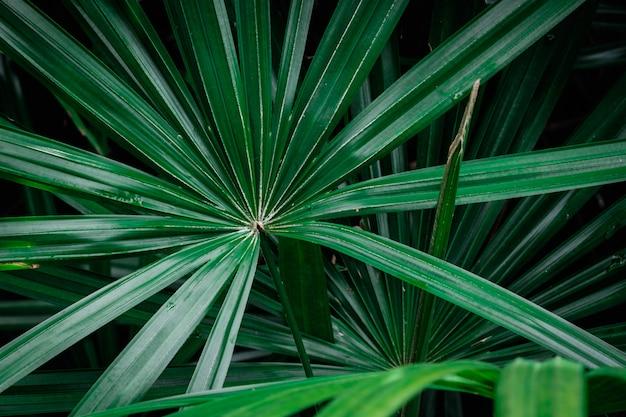 Foglie di palma verdi naturali
