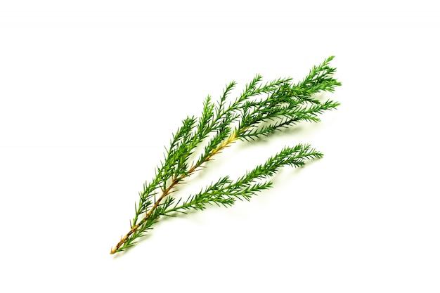 Foglie di pino verde isolato su sfondo bianco.