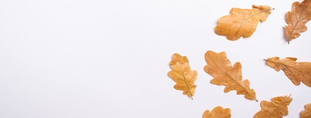 Foglie di quercia gialla su bianco