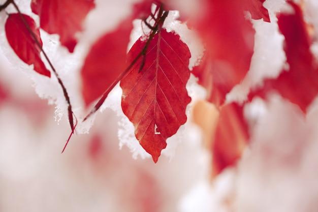 Foglie di quercia rossa sotto la neve bianca