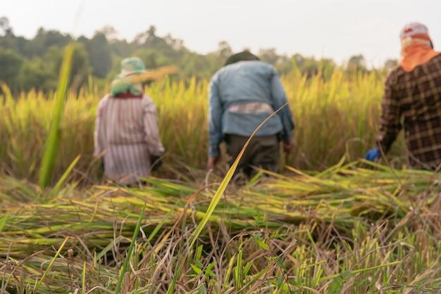 Foglie di riso verde con morbido sfocato di agricoltori tailandesi stanno raccogliendo riso nei campi.