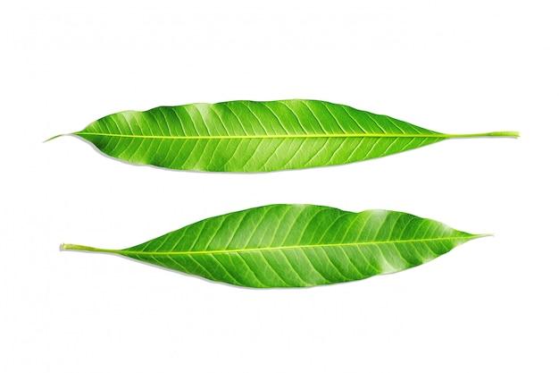 Foglie di struttura del primo piano dell'albero di mango isolate su bianco