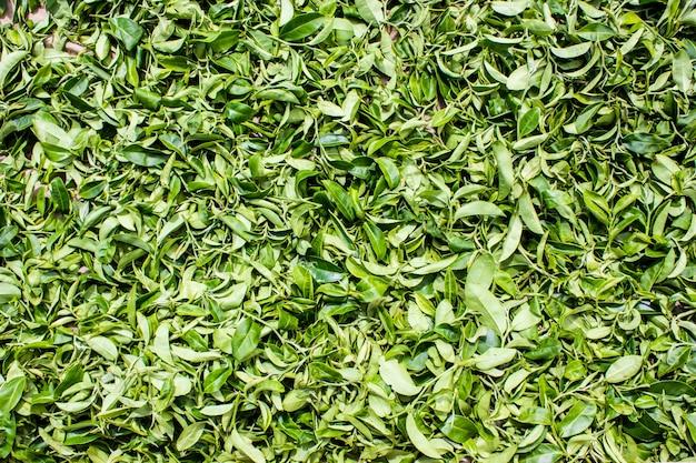 Foglie di tè che raccolgono lo sfondo dell'area