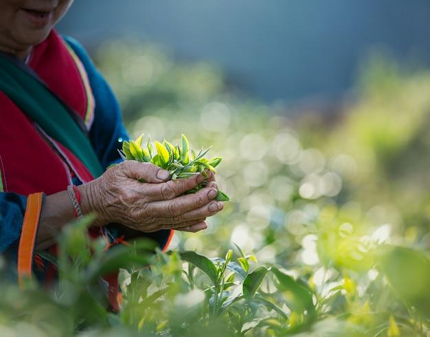 Foglie di tè fresche in mano della donna, al giardino del tè