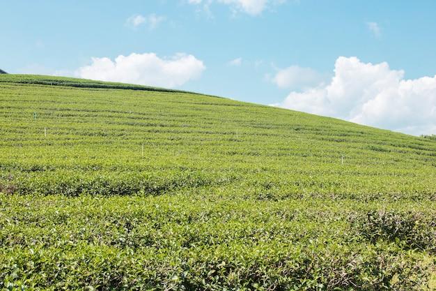 Foglie di tè verdi e file su cielo blu