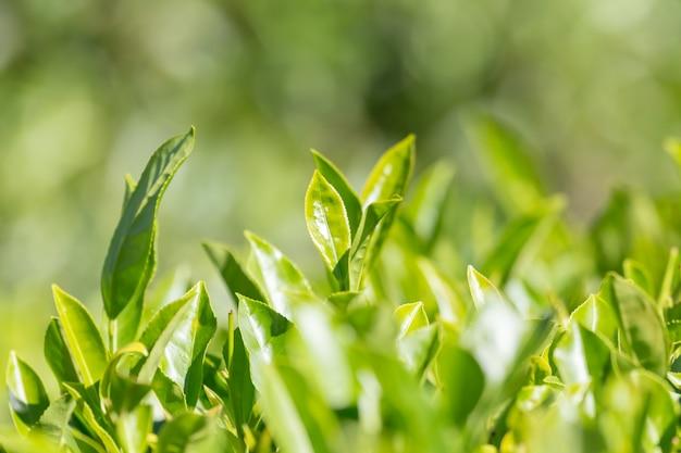 Foglie di tè verdi in una piantagione di tè