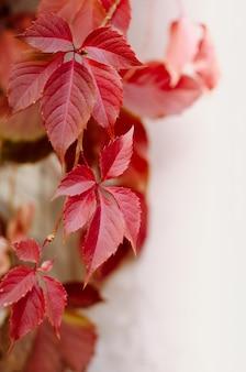 Foglie di vite rossa selvatica. bellissimo sfondo luminoso autunno.