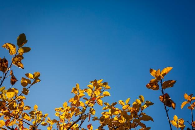 Foglie e rami neri di un albero di acero