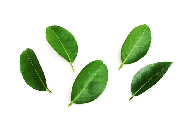 Foglie fresche del limone dell'agrume della foglia della calce isolate su bianco.