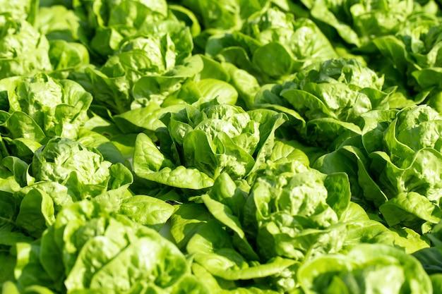 Foglie fresche della lattuga di butterhead, azienda agricola di verdure idroponica delle insalate