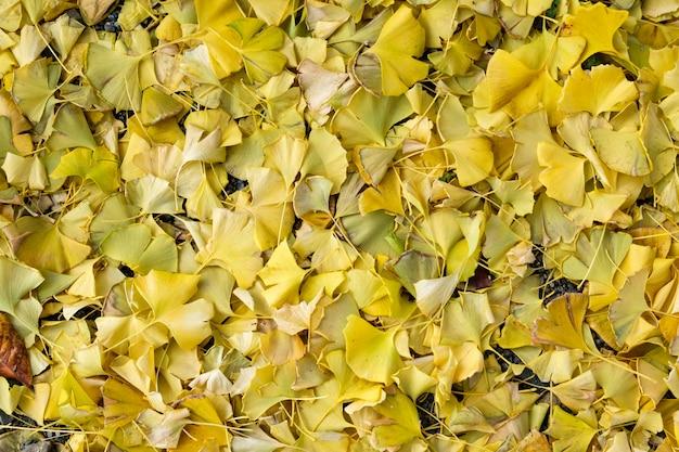 Foglie gialle del ginkgo biloba che cadono su terra