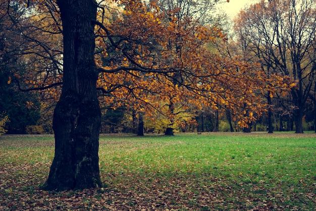 Foglie gialle di una vecchia quercia.