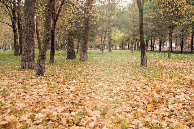 Foglie gialle e arancioni cadute sull'erba verde intorno ai vecchi alberi scuri nel parco della città