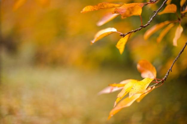 Foglie gialle in autunno ciliegia