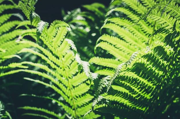 Foglie naturali di felce con la luce del sole nella foresta tropicale.