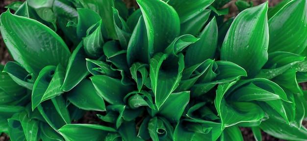 Foglie ornamentali verdi rigogliose della pianta di hosta