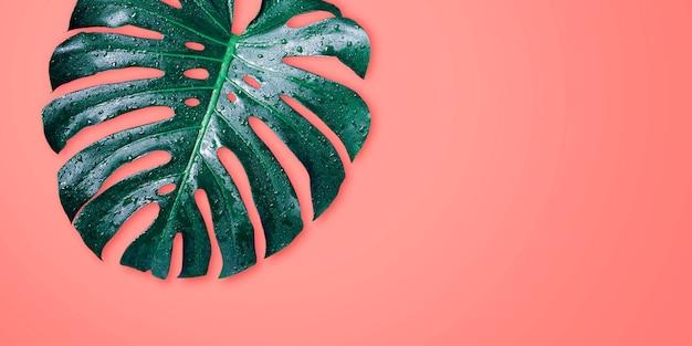 Foglie tropicali di monstera su estate minima del fondo di colore di corallo