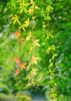 Foglie verde brillante su ramoscelli con alcune foglie autunnali che diventano già rosse e gialle (come il concetto di inizio autunno)
