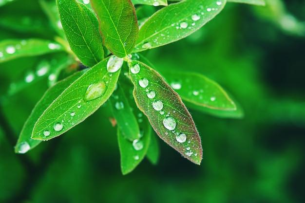 Foglie verdi con gocce d'acqua dopo la pioggia