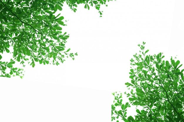 Foglie verdi dell'albero di ivorensis di terminalia su fondo bianco.