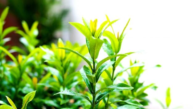 Foglie verdi dell'albero ixora fresco in natura.