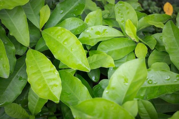 Foglie verdi della giungla in giardino tropicale
