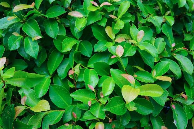 Foglie verdi della natura con freschezza delle gocce di pioggia in natura con il fondo di luce del giorno
