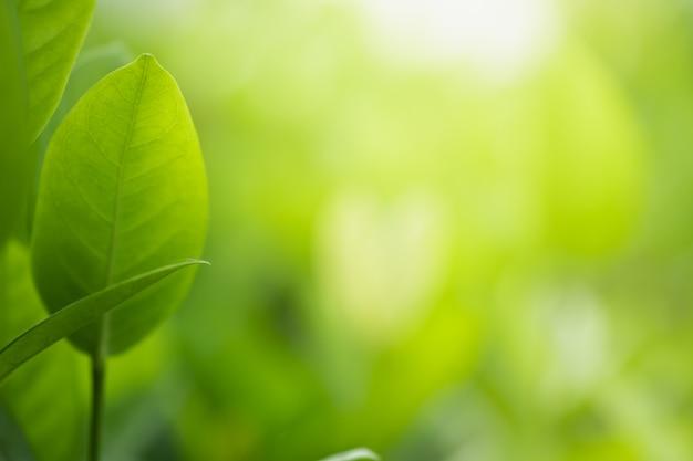 Foglie verdi della natura sul fondo vago dell'albero della pianta con luce solare nel parco del giardino pubblico
